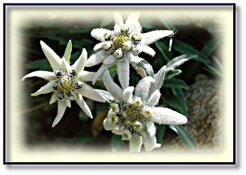 fleur-des-alpes-4.jpg