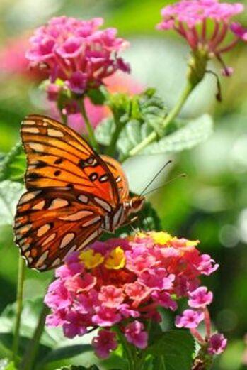je serai papillon