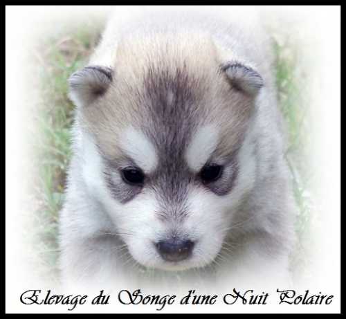 Chiot Husky Femelle 2 (19j)