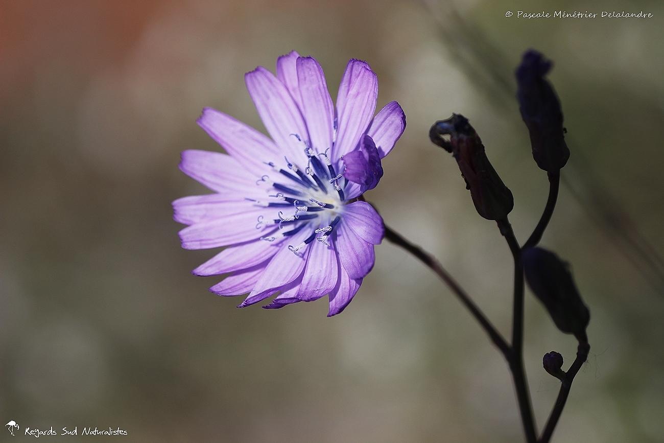 Laitue vivace (Lactuca perennis)