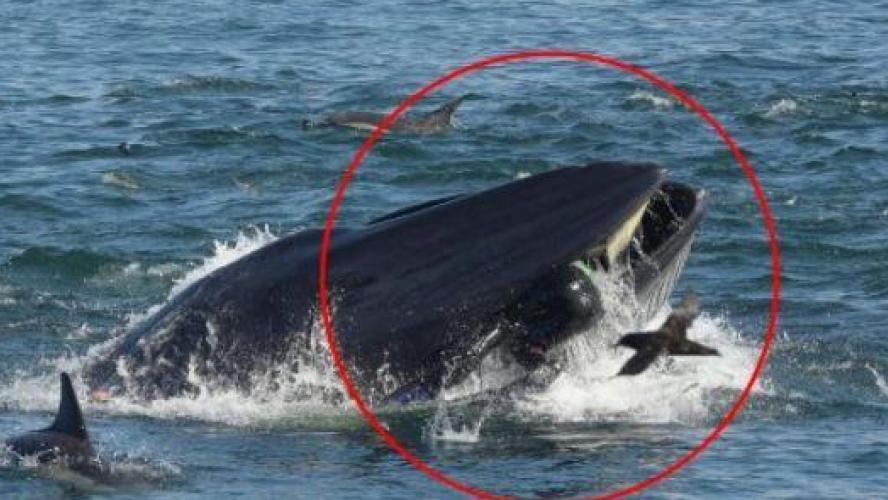 Une baleine avale un homme et le recrache !