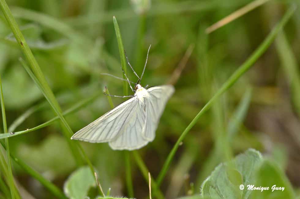 Papillon: Gazé