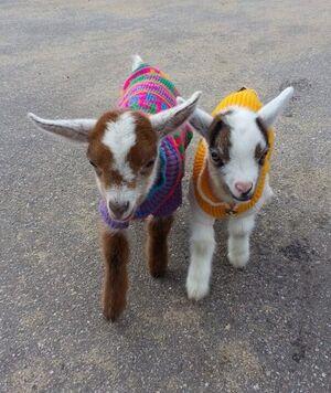C'est bientôt l'heure de la petite laine