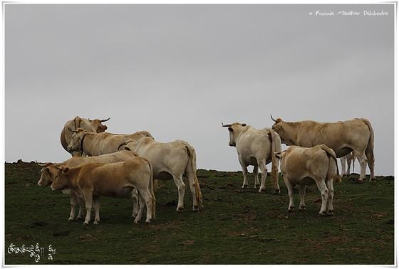 Blondes d'Aquitaine