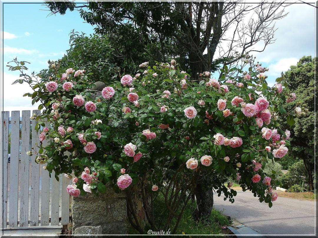 Une rose pour Jacques