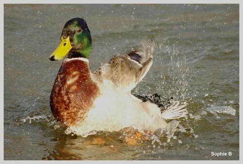 Encore des canards .