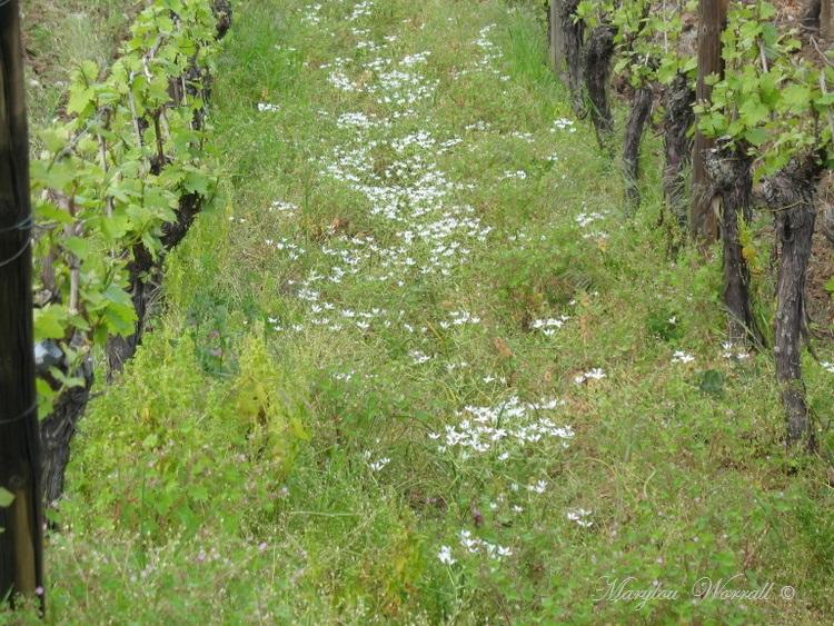 Le printemps dans le vignoble