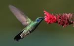 Colibri butinant une fleur rouge