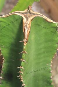 Euphorbia Candelabrum Ammak