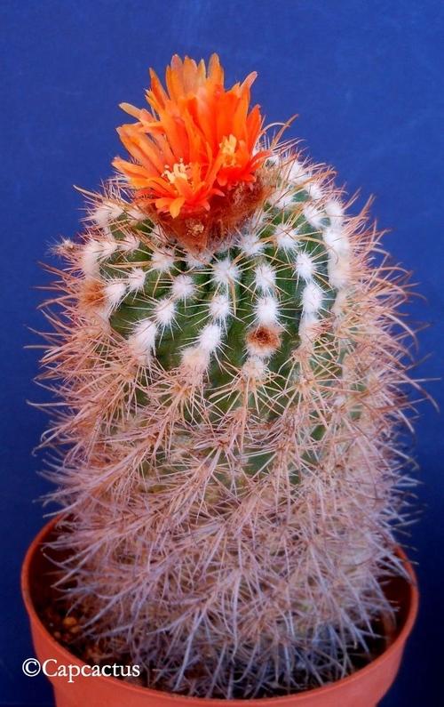 En juillet, les cactus continuent de fleurir