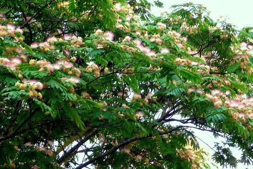L'albizia : un bel arbre !