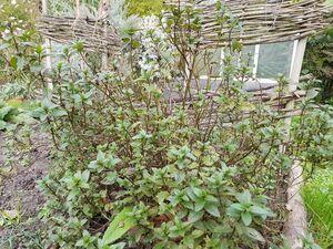 Plantes aromatiques - Médicinales