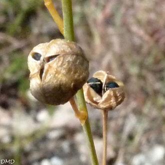 Anthericum  liliago  -  phalangère à fleurs de lis