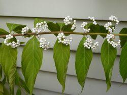 Le Callicarpa dichotoma Issai