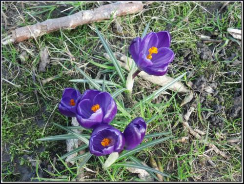 Crocus2(fevrier2014)