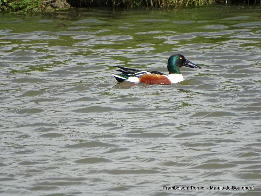 Canard souchet dans le marais - Mâle