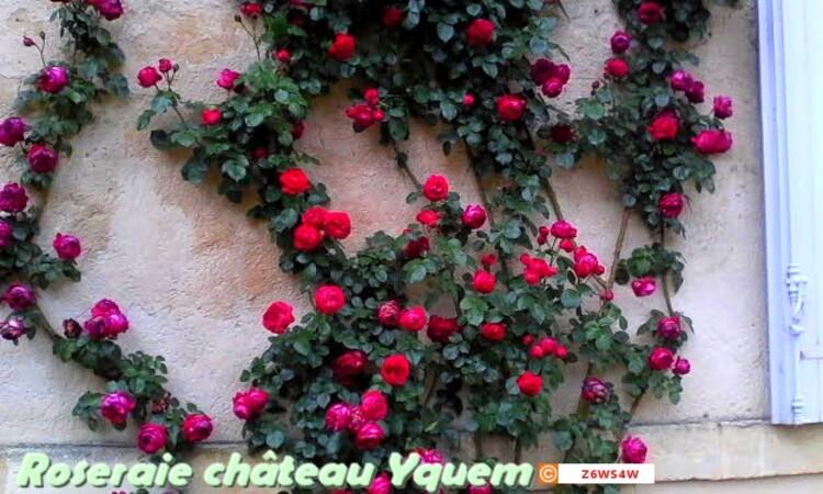 la Roseraie du château Yquem a Sauternes(Gironde) c'est une merveille a voir ,