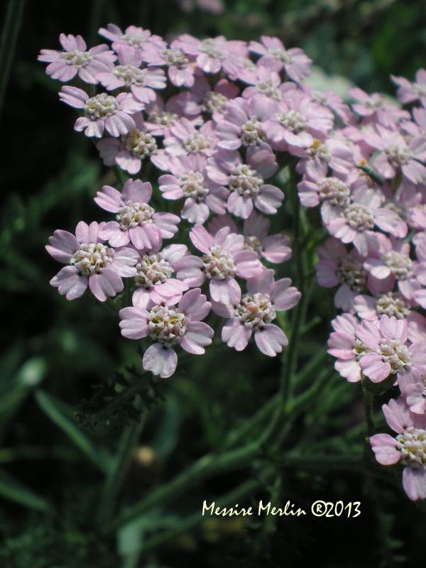 Fleurs sauvages : L'achillée