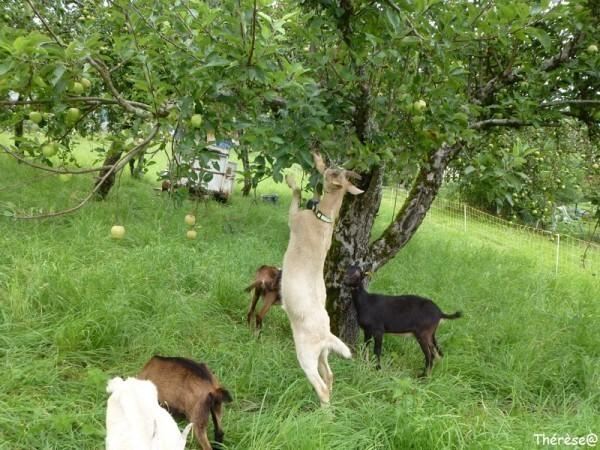 Les chèvres (7)