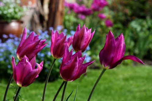 Tulipes Purple Dream4