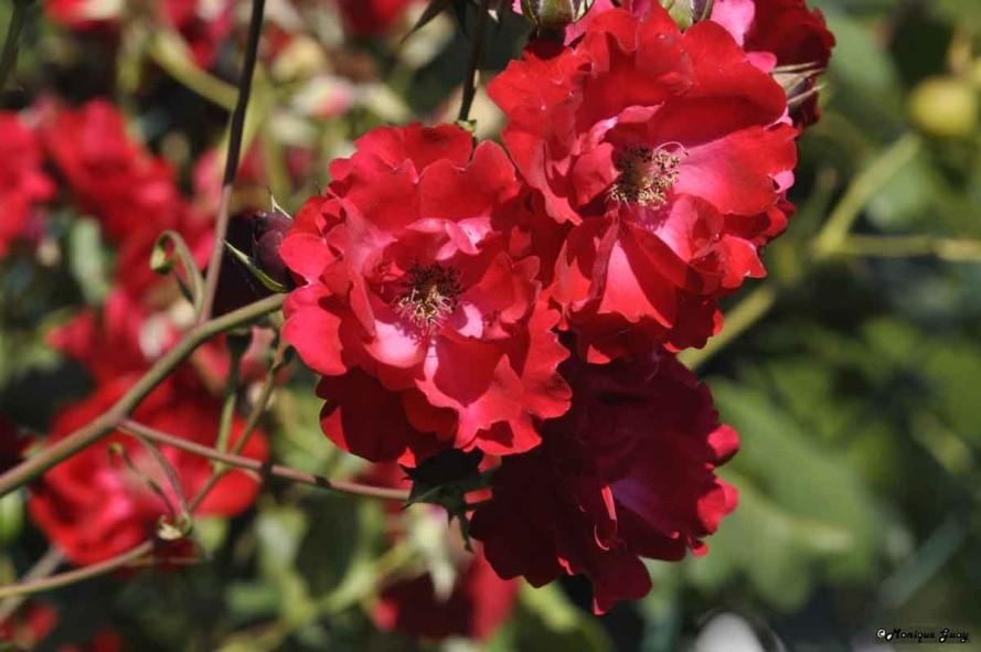 DSC7951-fleurs-rouges