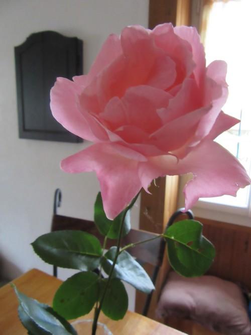 La rose à la tête penchée