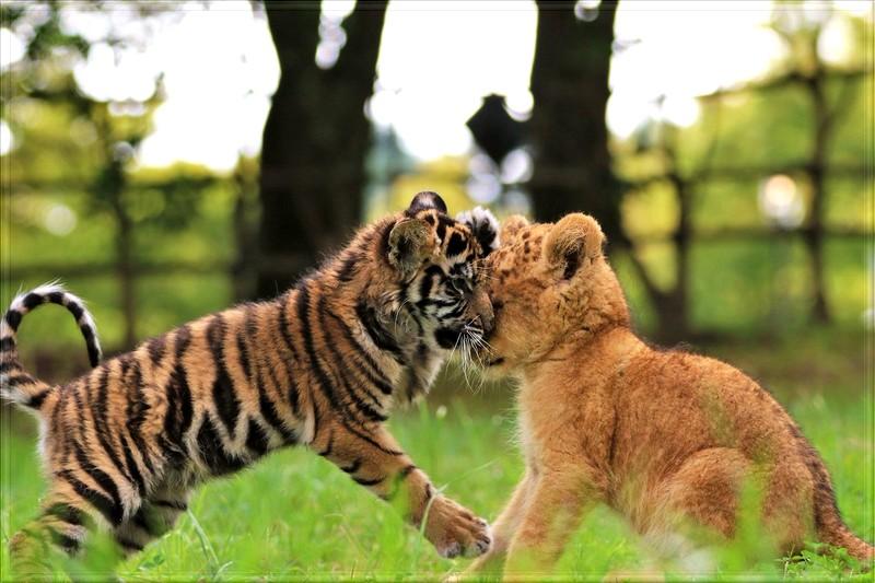 Assez Amitié un bébé tigre et un lionceau - rêverie ZH54