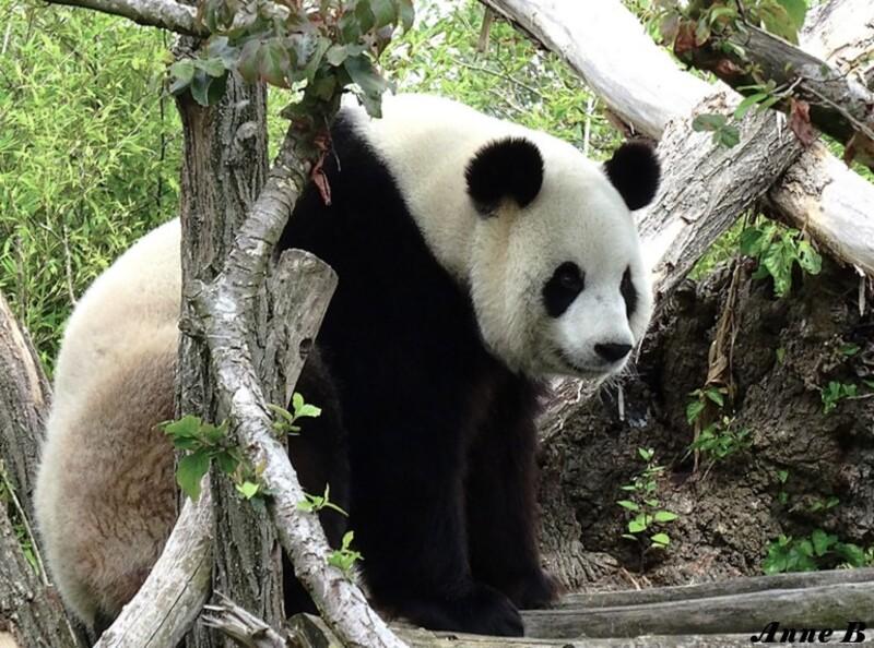 Xing Hui attendrissante femelle panda