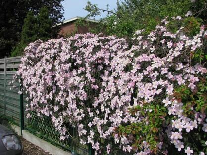 "Résultat de recherche d'images pour ""clematis montana mayleen"""