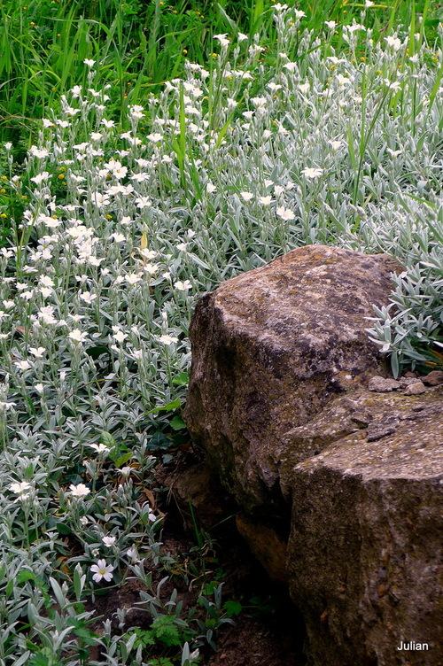Des pâquerettes et des petites fleurs blanches