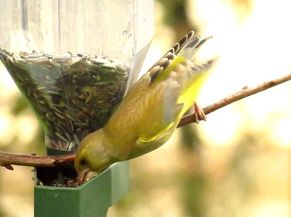 D'autres beaux oiseaux ont fréquenté mon jardin cet hiver....