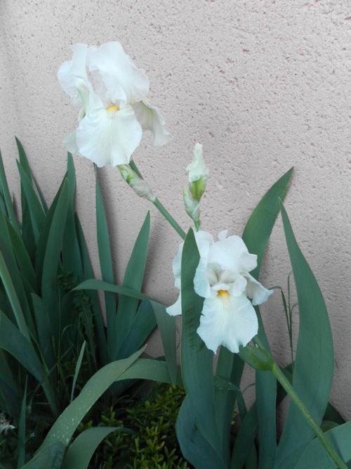 Mes  Iris