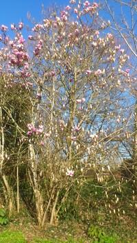 Magnolias caducs