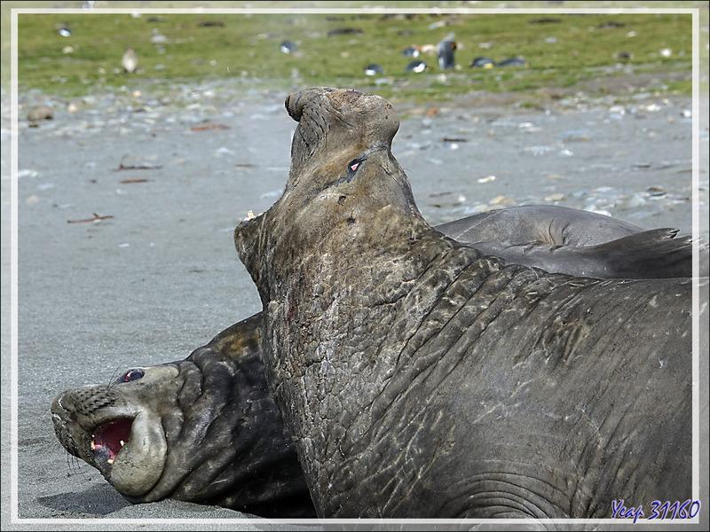 Éléphant de mer du sud (Mirounga leonina) - Saint Andrews Bay - Géorgie du Sud