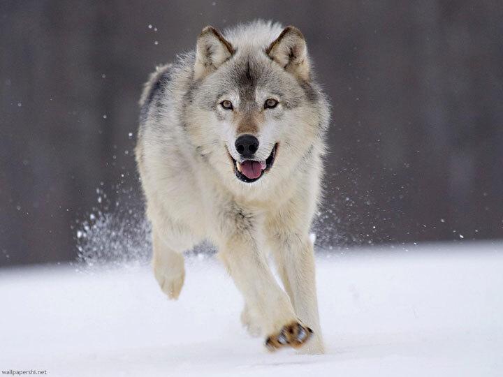 xx-animaux-dont-la-beaute-est-sublimee-par-les-couleurs-hivernales25