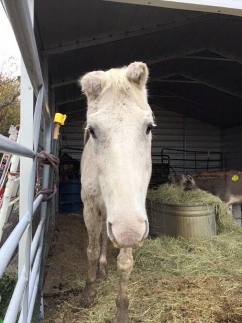 (-*♥*-) Ce cheval « savait » qu'il partait à l'abattoir. Il a décidé de se sauver lui-même  (-*♥*-)