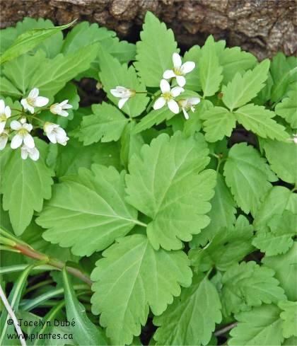 Photo de Dentaire à deux feuilles - Dentaria diphylla