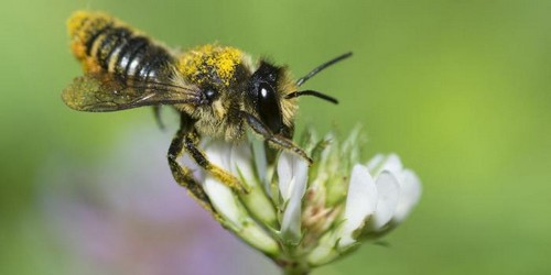 l'abeille maçonne des hangars fait sa réapparition