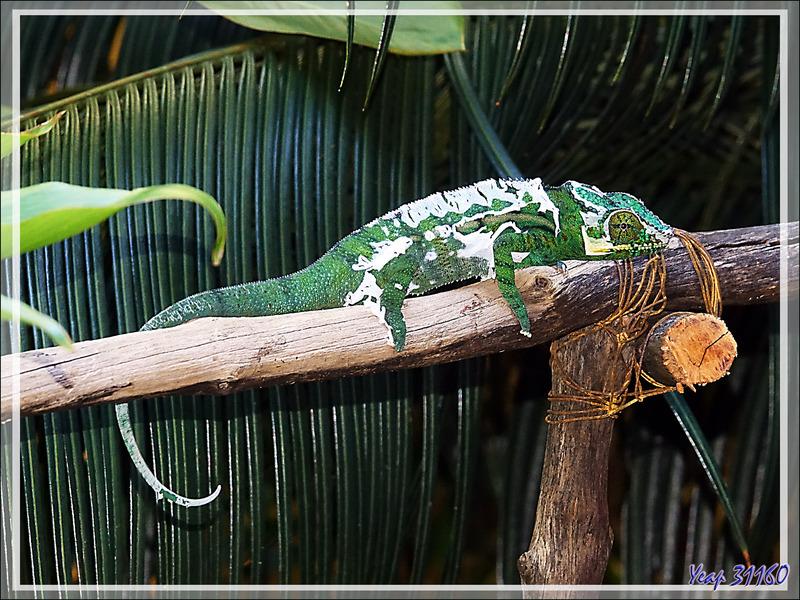 Une heure après, je retrouve ce Caméléon panthère mâle en cours de mue, Moulting of Panther chameleon (Furcifer pardalis) - Nosy Sakatia - Madagascar