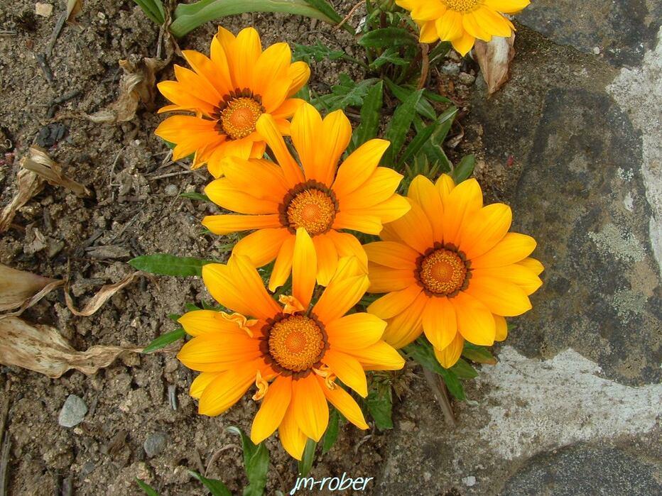 La fleur solaire par excellence «le gazania..............