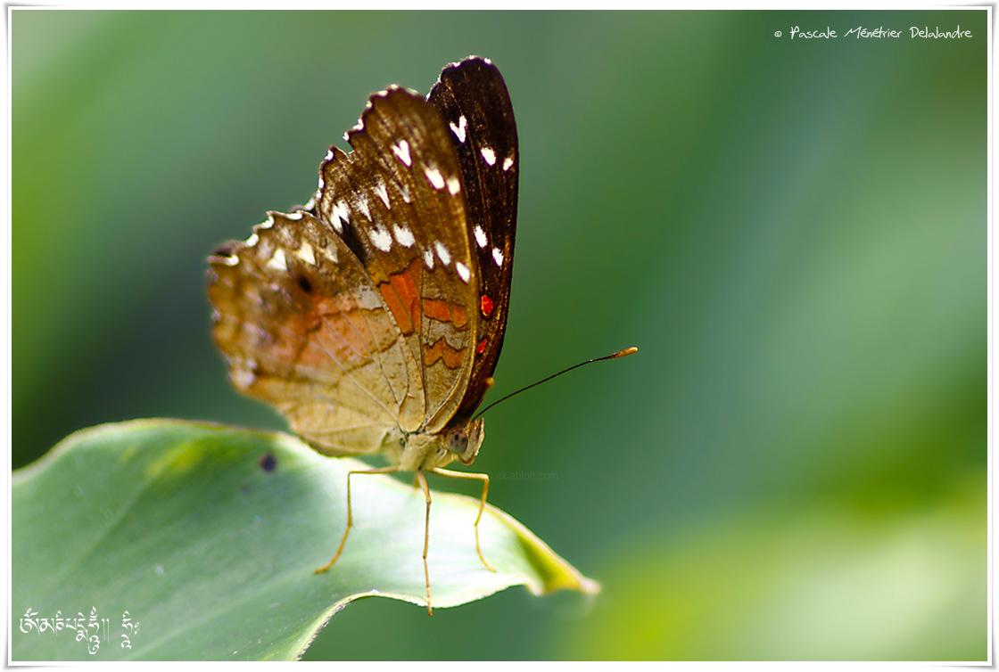 Anartia amathea - Nymphalidae