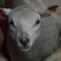 Jeune agneau .