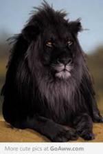 2 : Le lion noir