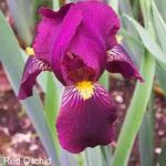 iris 'red orchid'
