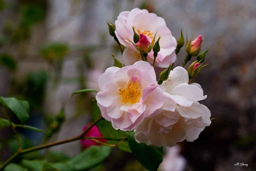 rose-blanche-5901.jpg