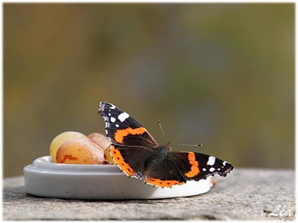 Papillons-6121-vulcain.jpg