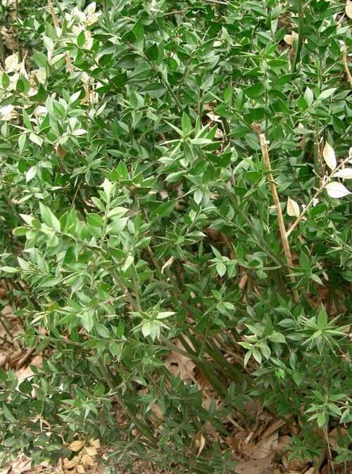 Vertus médicinales des plantes sauvages : Fragon épineux
