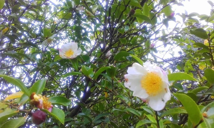 Déjà en fleurs
