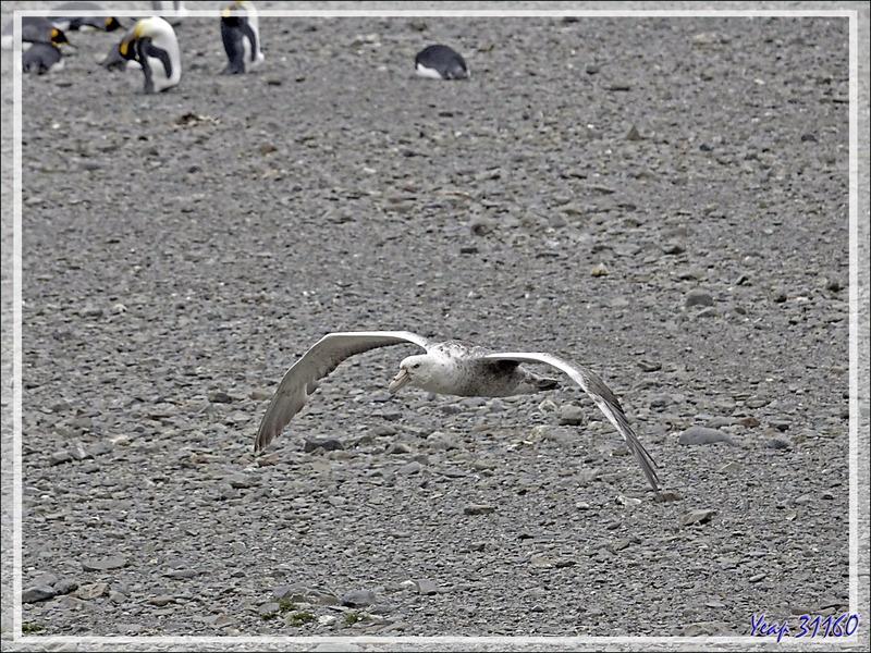 """Avec toutes ces otaries et manchots, il faut bien des """"croque-morts"""" : ce sont les pétrels qui occupent cette fonction de nettoyeurs - Whistle Cove - Fortuna Bay - Géorgie du Sud"""