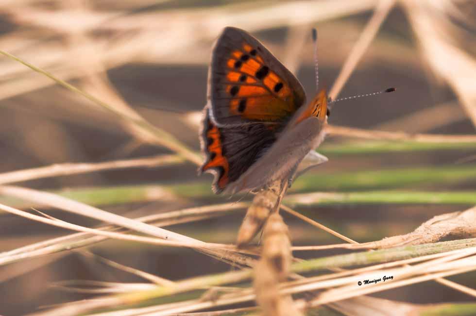 Papillon cuivré d'Amérique